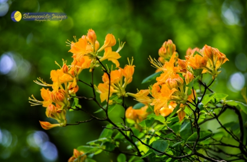 Golden Flame Azalea - by Dale R. Carlson