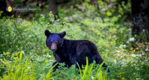 Bear Cub - by Dale R. Carlson