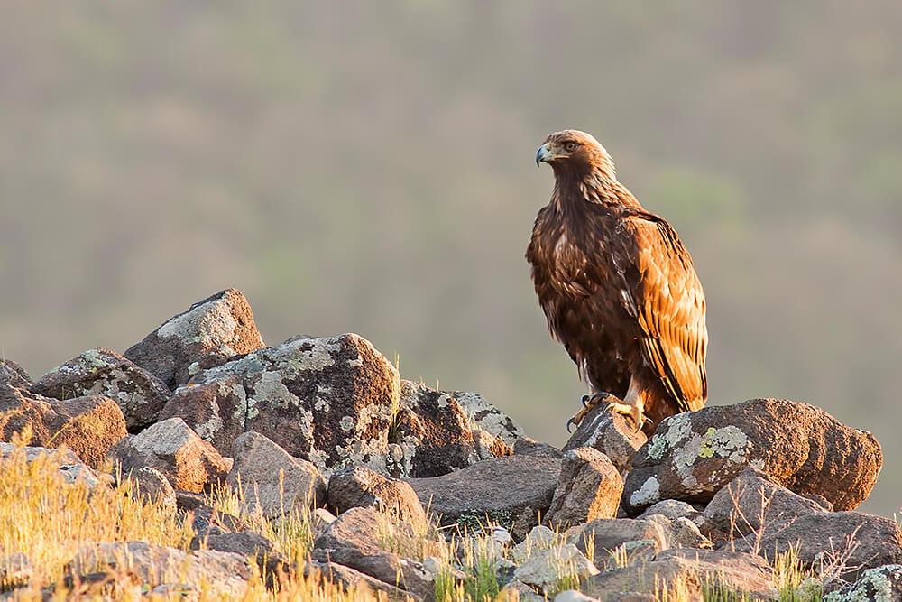 Image GW - golden eagle.jpg