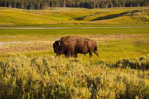 bison-1630310__340.jpg