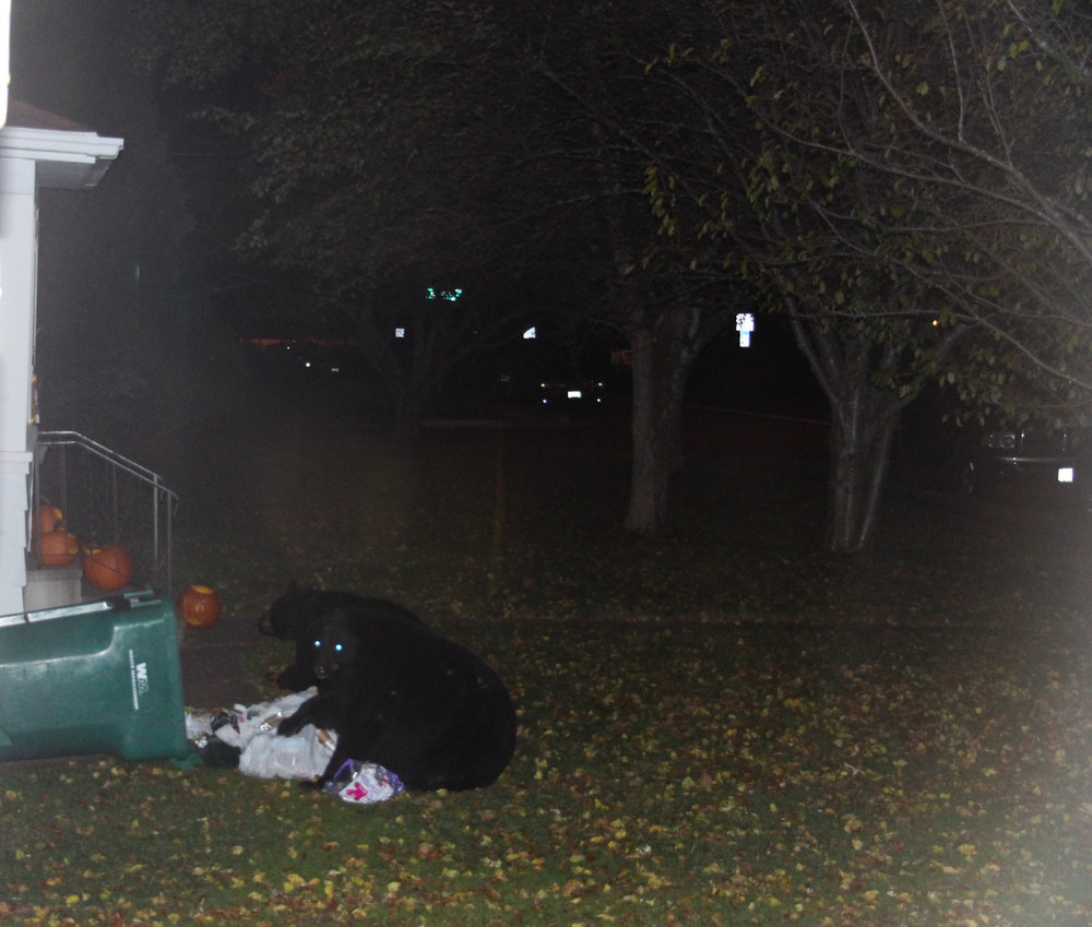 Caught in the act, these black bears dig for trash on Carver ave, a block from UMD's campus  Photo: Connor Shea