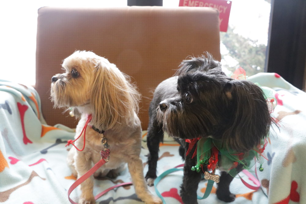 Sisters Whinney and Izzy are Yorkie Shih Tzu mixes and frequent flyers at PAWS events. Photo by Maren Friemann