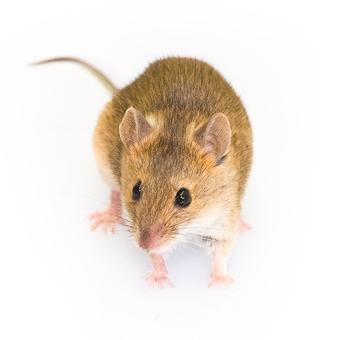 Mice.spretus.F.5095.050616_Web-2.jpg
