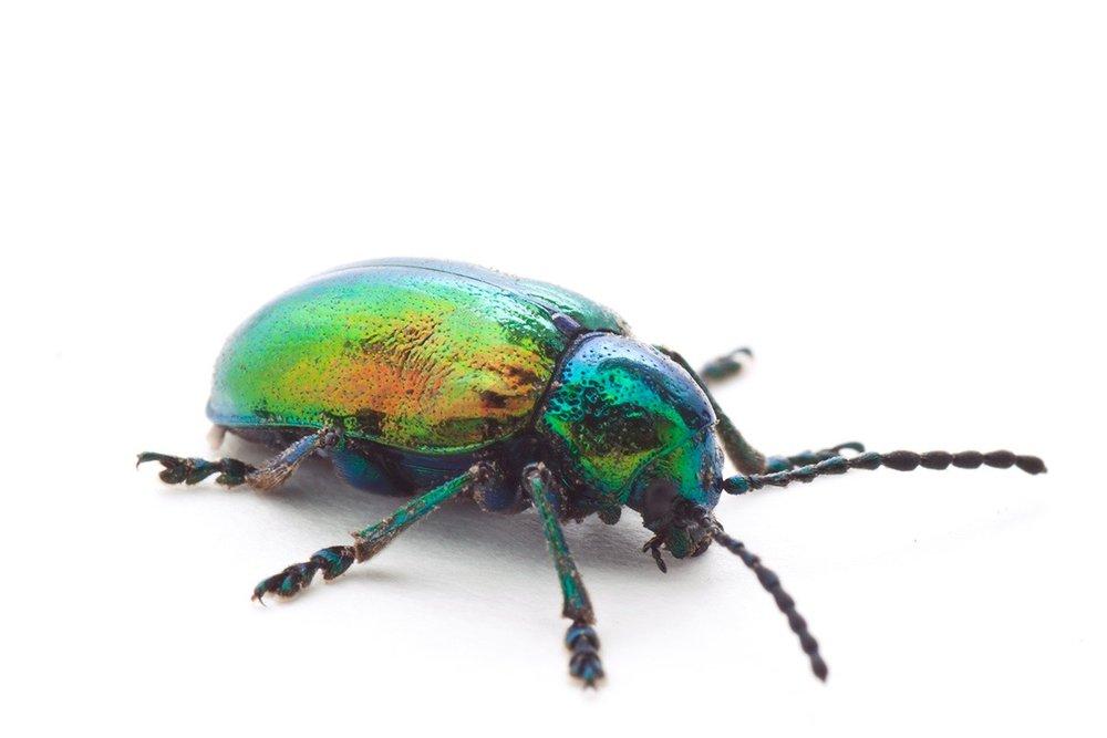 beetle_02_sm.jpg