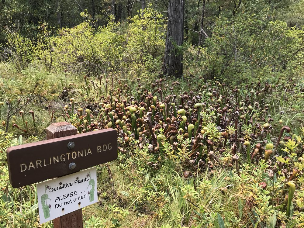 This was a protected bog full of  Darlingtonia  in CA. There was a boardwalk to guide you through this site. It was small, but the place was packed with these handsome Cobras!