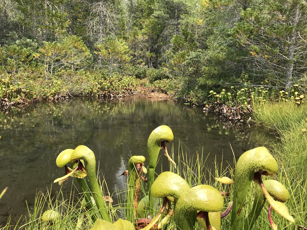 This was a beautiful site in CA.  Darlingtonia  were everywhere all around the perimeter of this small pond. It was very magical, like a fairy land of the Cobra Lily, except that all the fairies would be glowing trapped inside the plants!?
