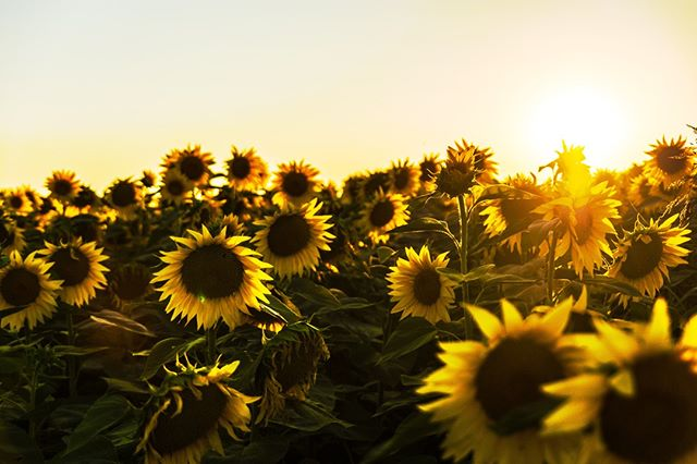 A sunflower does not stop reaching for the sun just because another has grown taller. Keep growing. 🌻 . . . #KansaOrganics #ComplexionPerfection #Detox #Ayurveda #HolisticWellness #Holistic #KansaWand #SelfHealing #SelfHealingTools #PositiveVibes #holisticskincare #holisticlife #holisticbeauty #holistictherapy #holistichealer #selfheal #selfhealth #selfcareishealthcare #selfcareroutine #selfcareeveryday #selfcareisntselfish #healingenergytools #healthyenergy #organicskincareproducts #organiccare #sunflower #motivation #rachforthesun #keepgrowing #keepgoing