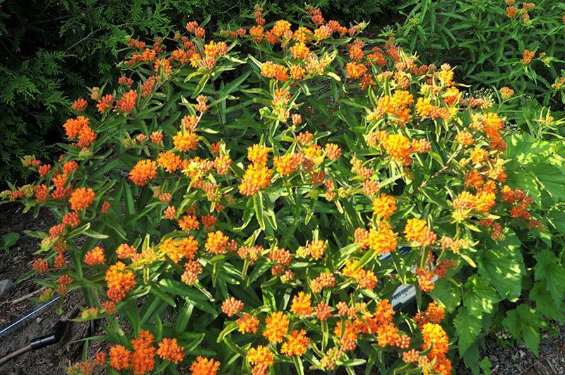 Asclépiade dans notre jardin féérique (Asclépias tuberosa)