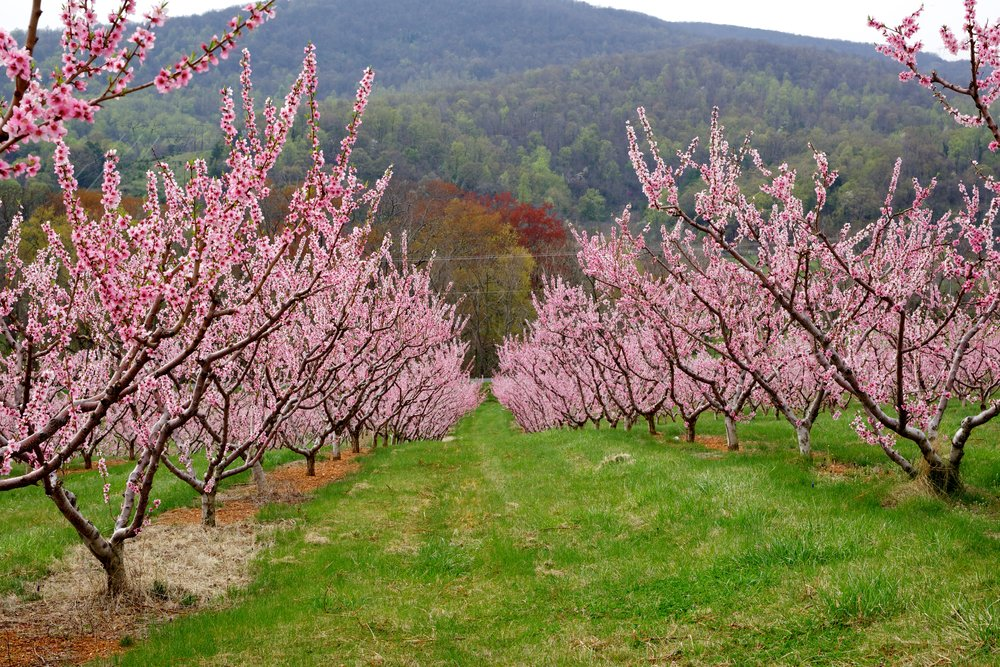 Blossoms on California Farm