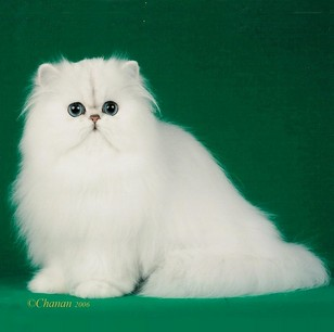 Sire: Lej'Haim Hepurrs hepurrs of ladydi - Copyright Diana Bowles and LadyDi Persians