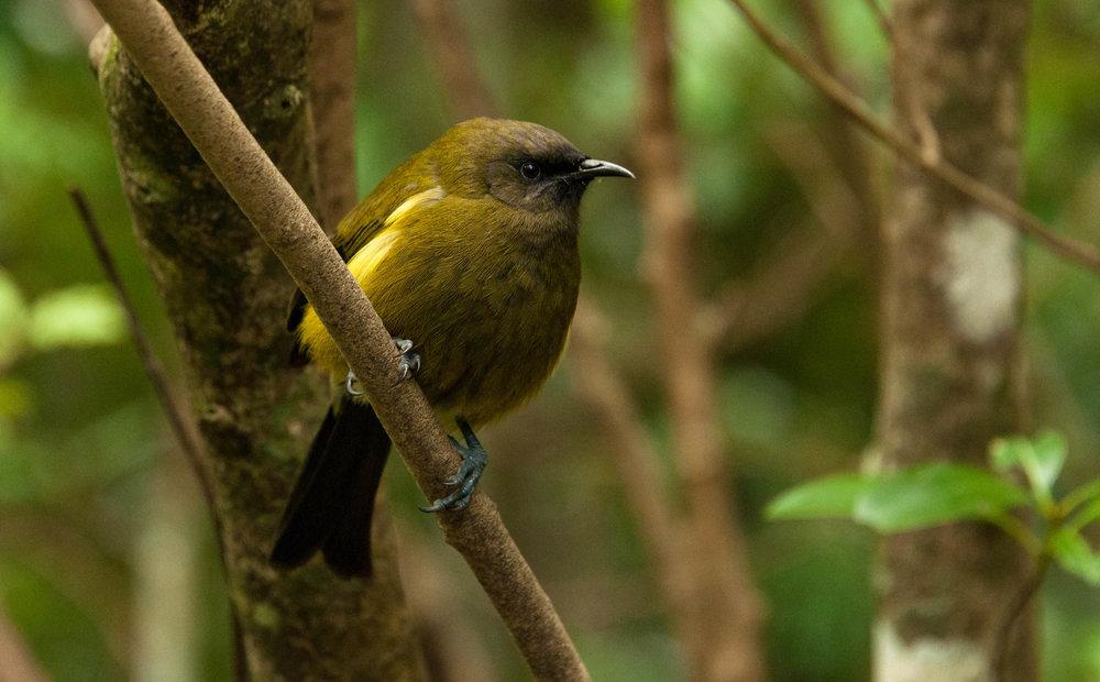 Bellbird on Tiritiri Matangi