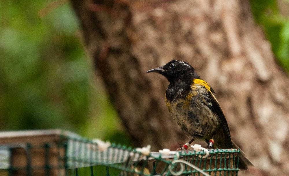 Hihi (Stitchbird) on a feeding station