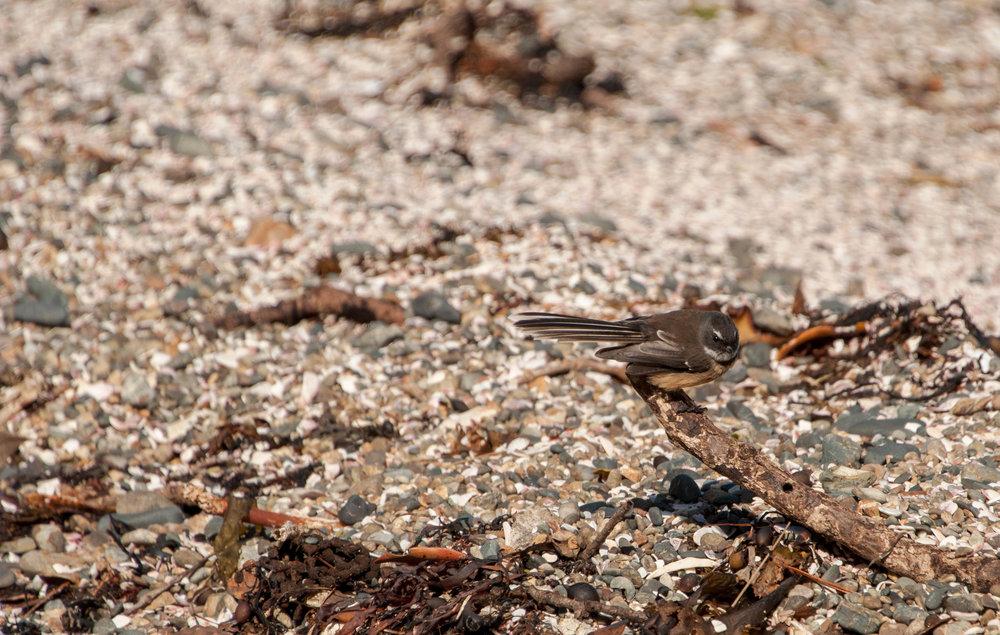 Cute little Fantail bird
