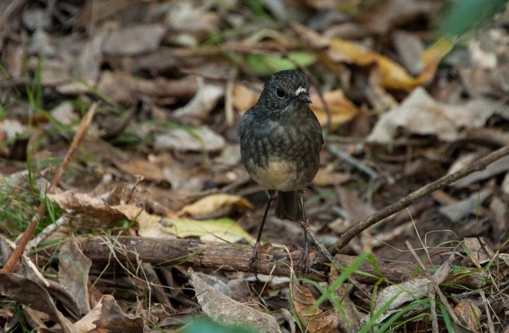 North Island Robin on Tiritiri Matangi