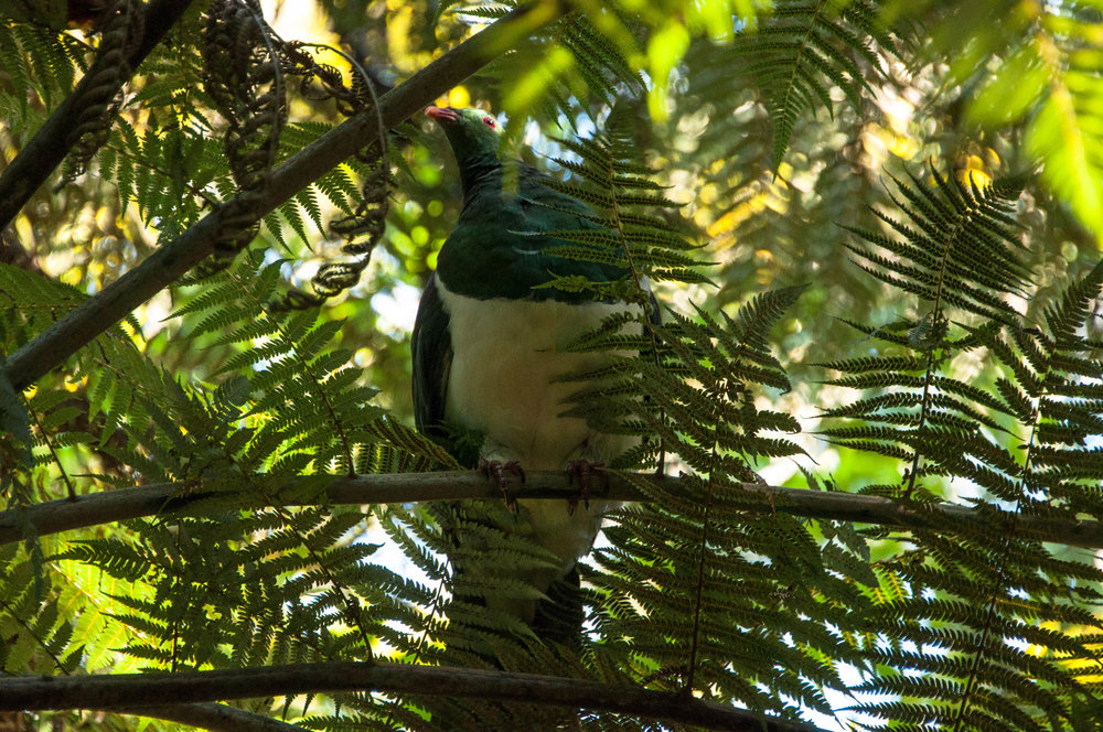 20180422_new_zealand_auckland_tiritiri_matangi_kereru_bird2.jpg