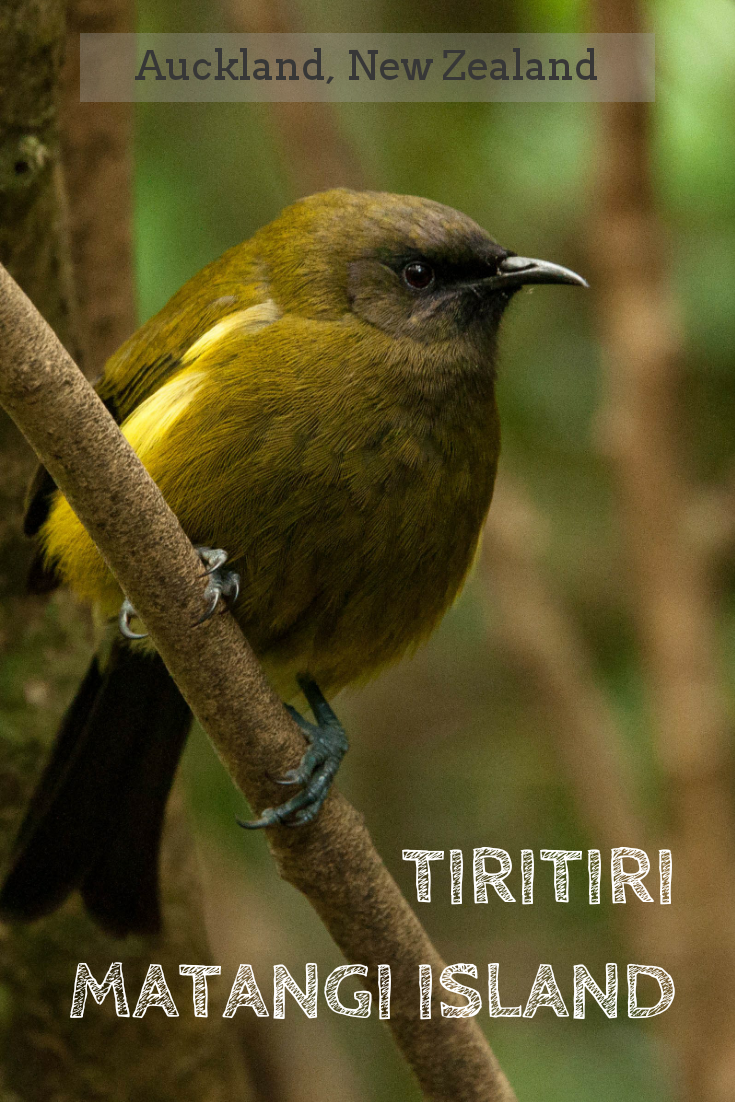 Tiritiri_matangi_island_bellbird.png
