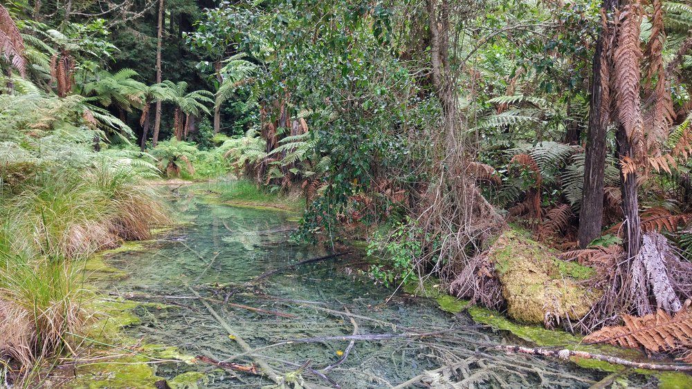 Geothermal pond in the Redwood Forest Rotorua