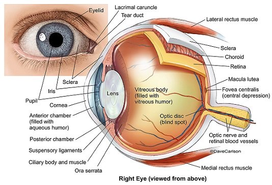 http://www.vision-and-eye-health.com/eye-anatomy.html