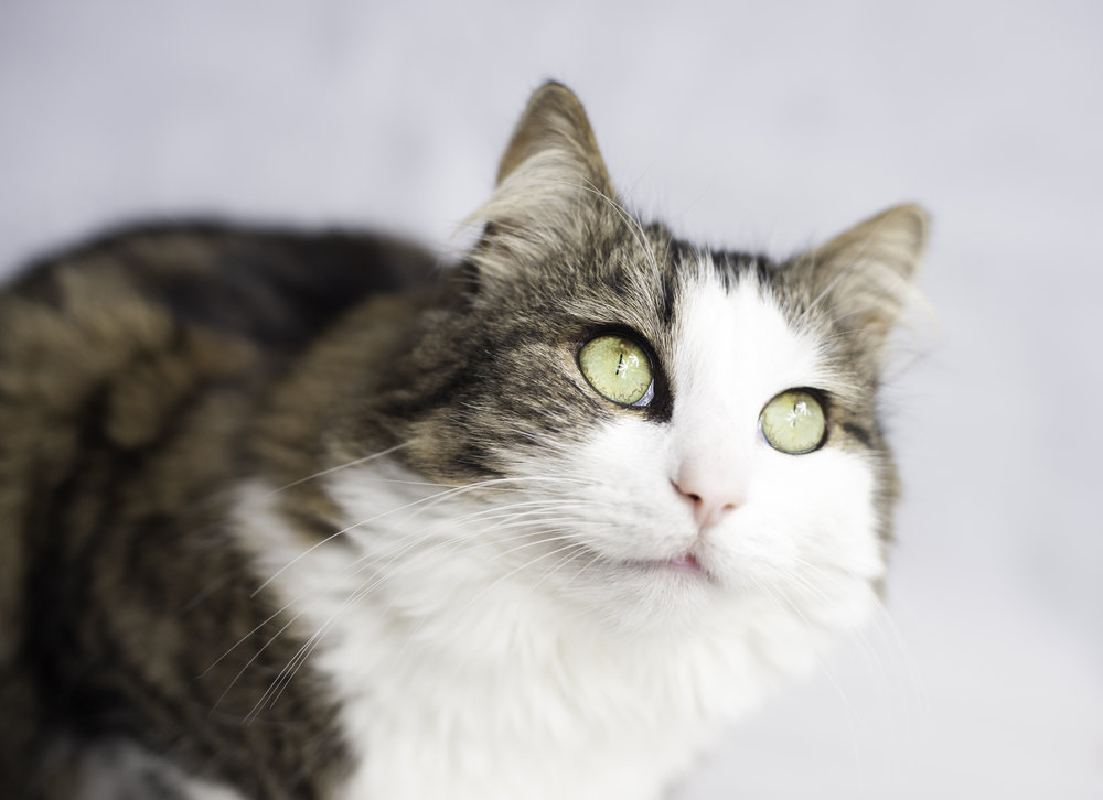 The most affectionate and sweet cat I've ever had, Abby-Rose is not only beautiful on the outside, she's beautiful on the inside too! She loves her walks outside on her harness where she can bask in the sun and paw on the grass or garden mulch :D