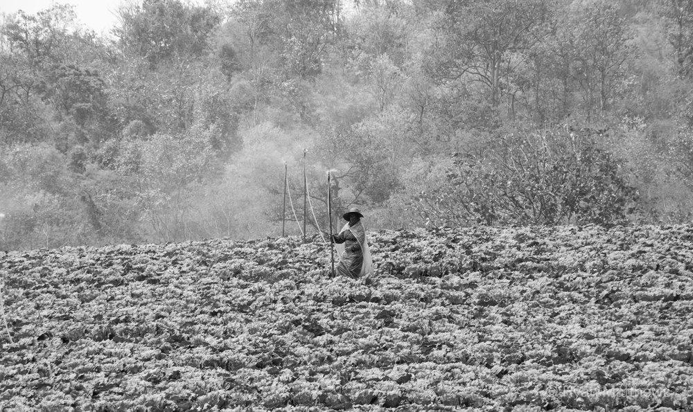 Thai cabbage field