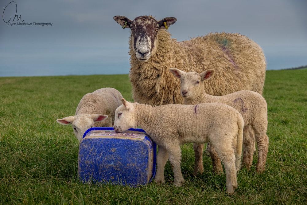 Ewe and three lambs