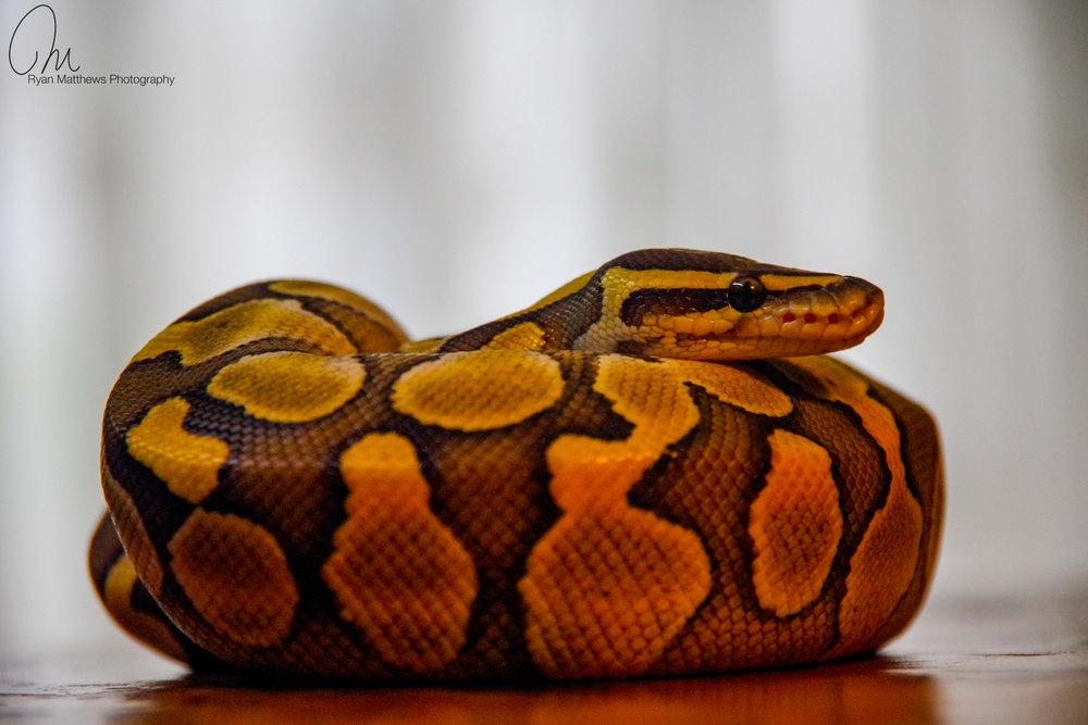 Royal Python - Lesser