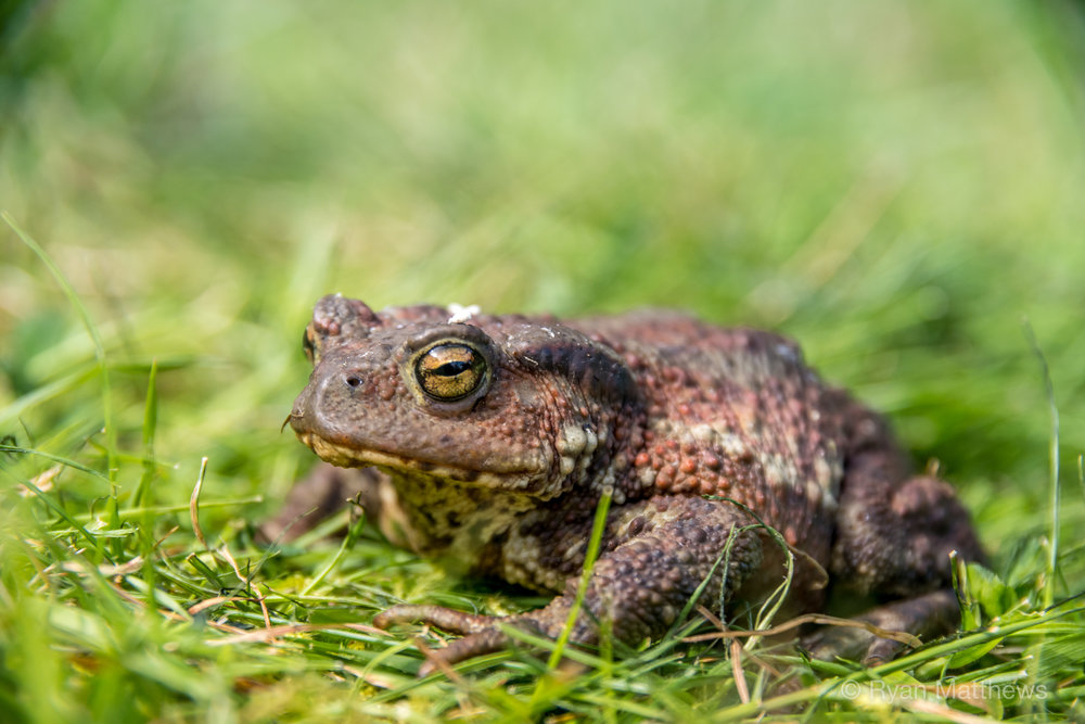 Common toad 1.jpg