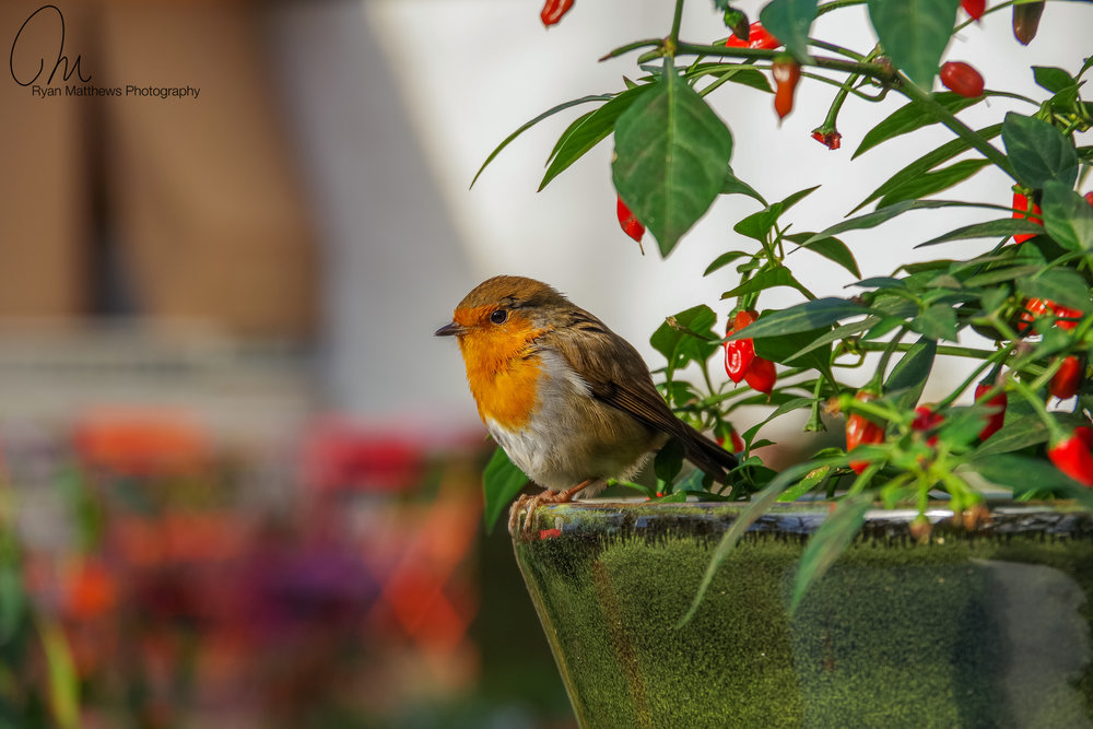 Robin on chilli plant.jpg