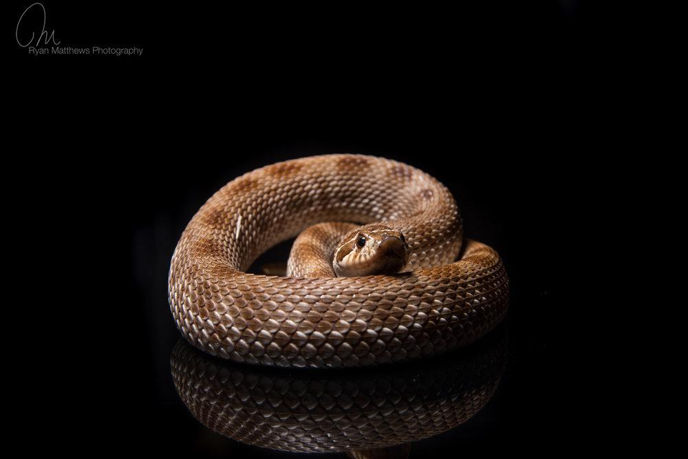 Anaconda - western hognose