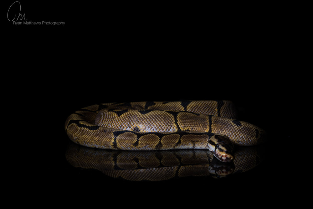 Spider yellow-belly - Royal python