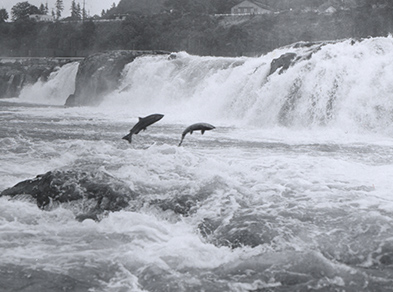 Salmon leap at Willamette Falls, Oregon