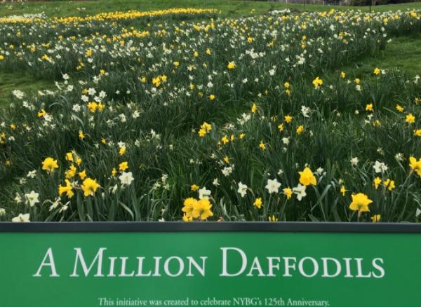 nybg daffodils.jpg
