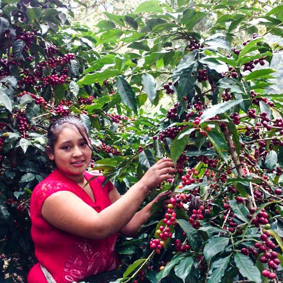 Bourbon-træerne - En Juares-medarbejder står og plukker friske kaffebær fra et Bourbon-træ.Det foregår i 1800 meters højde, to timers kørsel øst for Guatemala City.