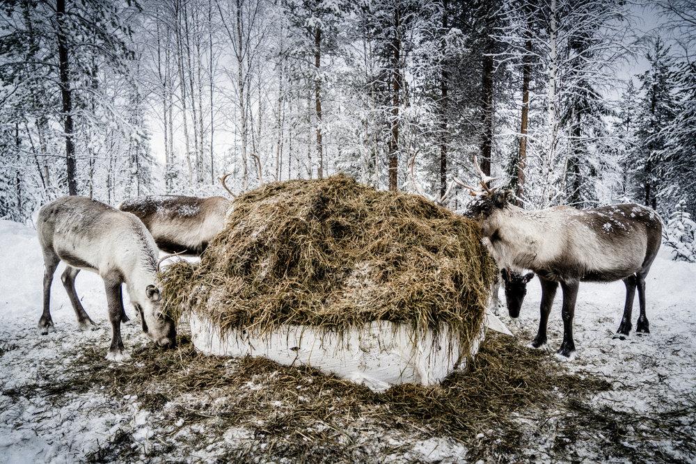 Februari 2018  Att betet är låst av is var något min far aldrig såg. Till skillnad från vår generation som inte haft två likadana vintrar efter varandra hade han likadana vintrar under en period på 20 år. Han har fört dagbok och minns det tydligt. Och för bara 20 år sedan kunde tusentals renar beta i samma område utan att behöva tillskott. Hänglavskogen var förra tidens nödbete. Men den växer bara i skog som är äldre än 100 år och idag är den i stort sett helt obefintlig. Vi har drabbats hårt av skogsnäringens ökande vinstkrav, skogen huggs ner utan ersättning och nu är åren utan tillskottsmat lätträknade. Renens naturliga sätt förändras och tamhetsgraden ökar markant av utfodringen. Det gör att renen blir lite tyngre att hantera. Den blir inte lika rädd för oss och skotrarna. Renskötsel bygger delvis på renens flyktbeteende. Dessutom förändras renens sätt att använda markerna. Hur vet vi inte ännu.