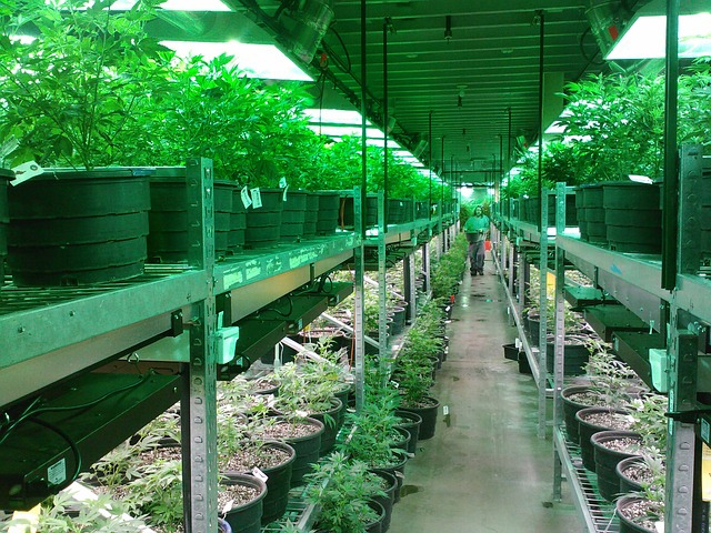 interior-cannabis-cultivator-business.JPG