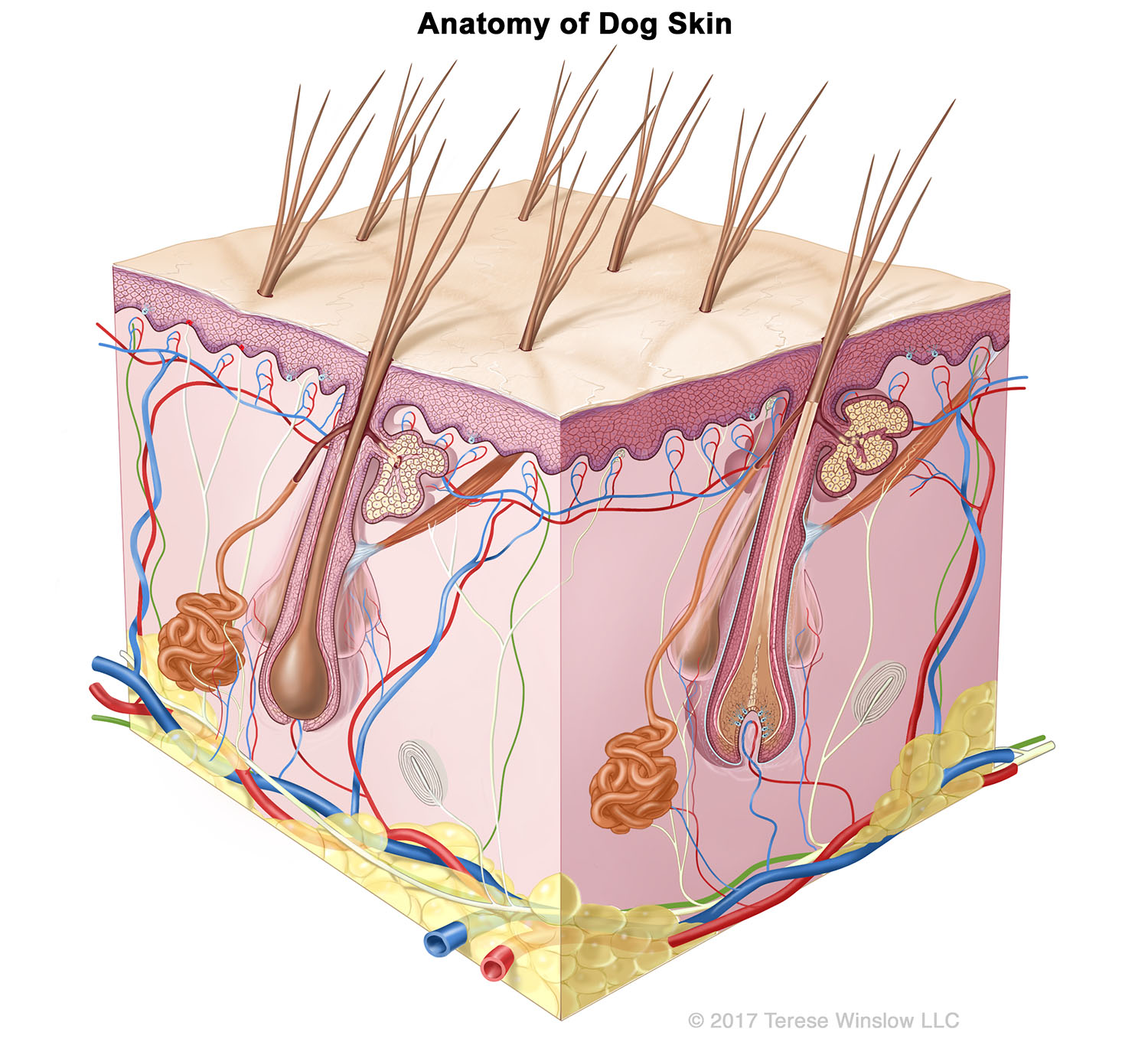 Skin Terese Winslow Llc Medical And Scientific Illustration