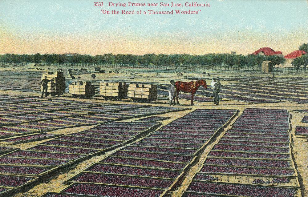 Postcard of drying prunes near San Jose