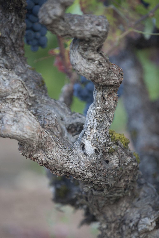 old vine close up