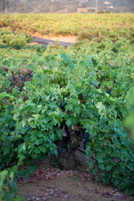 beautiful Teldeschi Vineyard