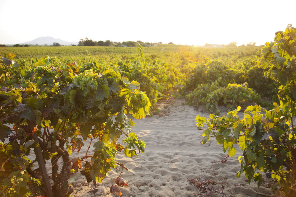 Del Barba sunrise before harvest