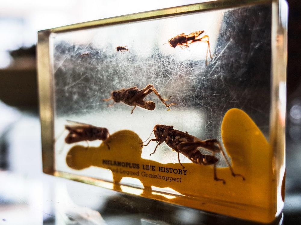 preserved-grasshopper.jpg