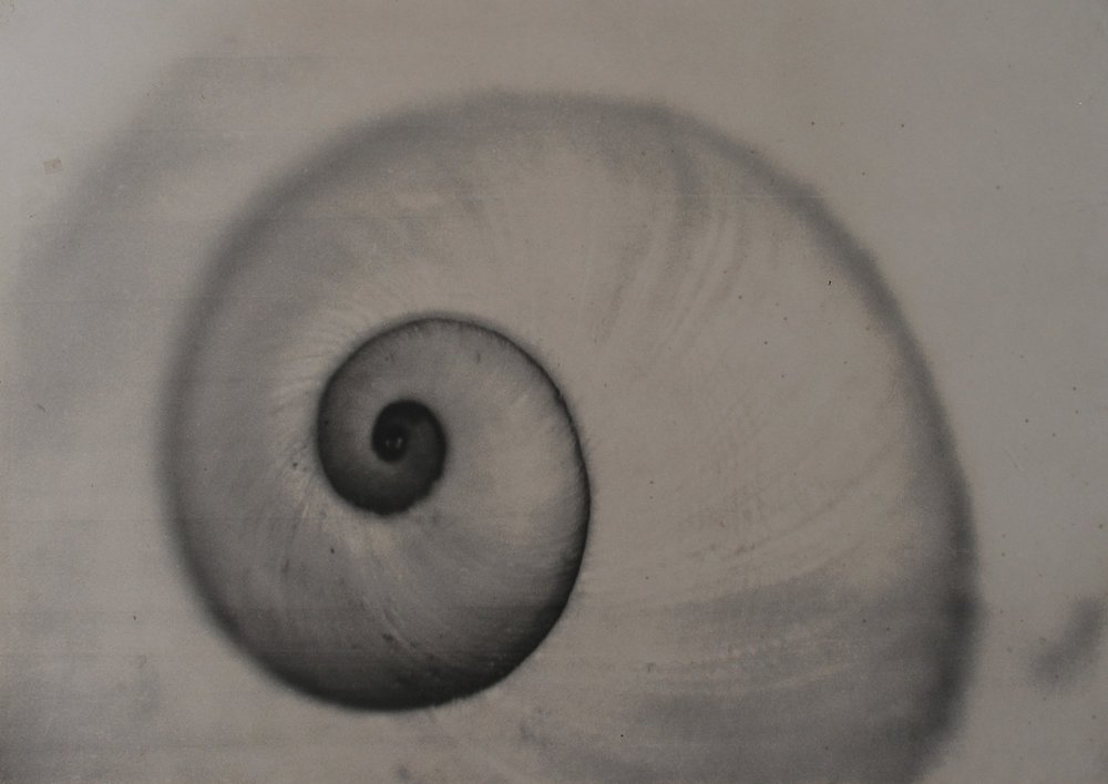 Spiral_Nautilus photo_1.jpg