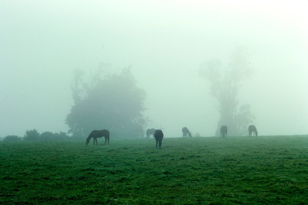 Horses grazing on a misty morning near the Redoubt rd off ramp in Wiri, 1971. Credit : Bruce Cook / Auckland Libraries Footprints.