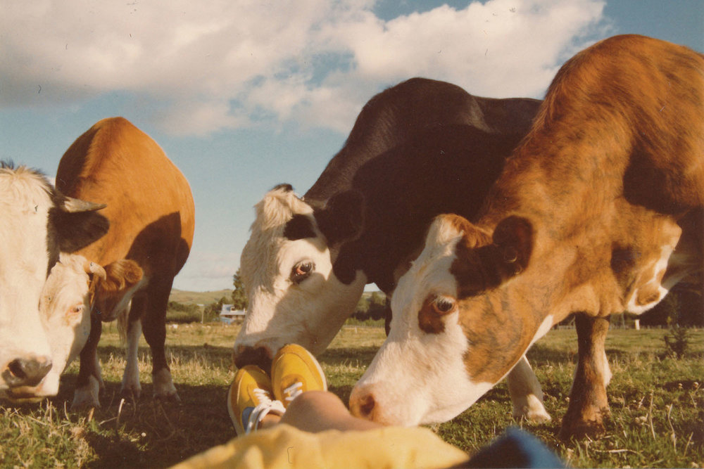Cows saying hello on the front lawn, 1980's. Credit : Don and  Rita MacLeod.