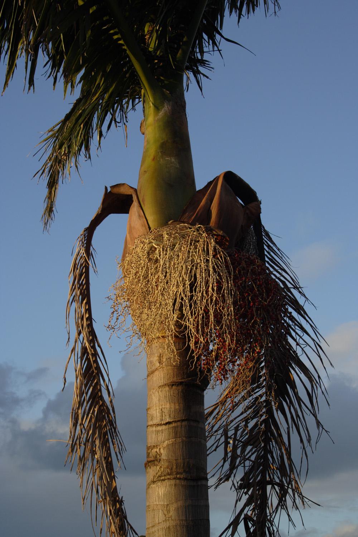 From palm tree series, I, Renata Crescent, 8 April 2009 . (JBT31819)