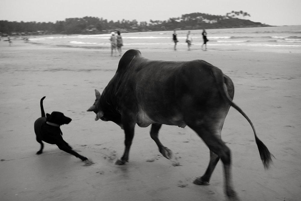 Julian Ward:  Cow and Dog. Palolem Beach, Goa, India  2012