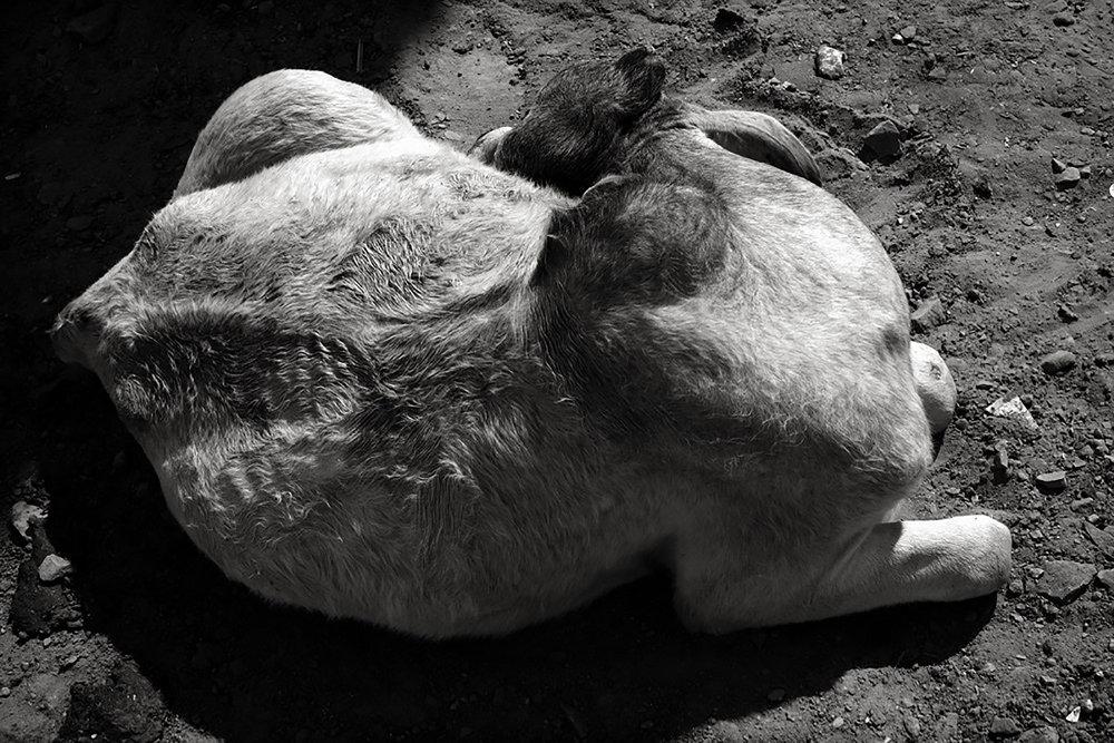 Julian Ward:  Sleeping Cow. Bundi, Rajasthan, India  2010
