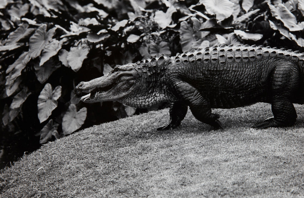 Peter Peryer.  Alligator , 1988
