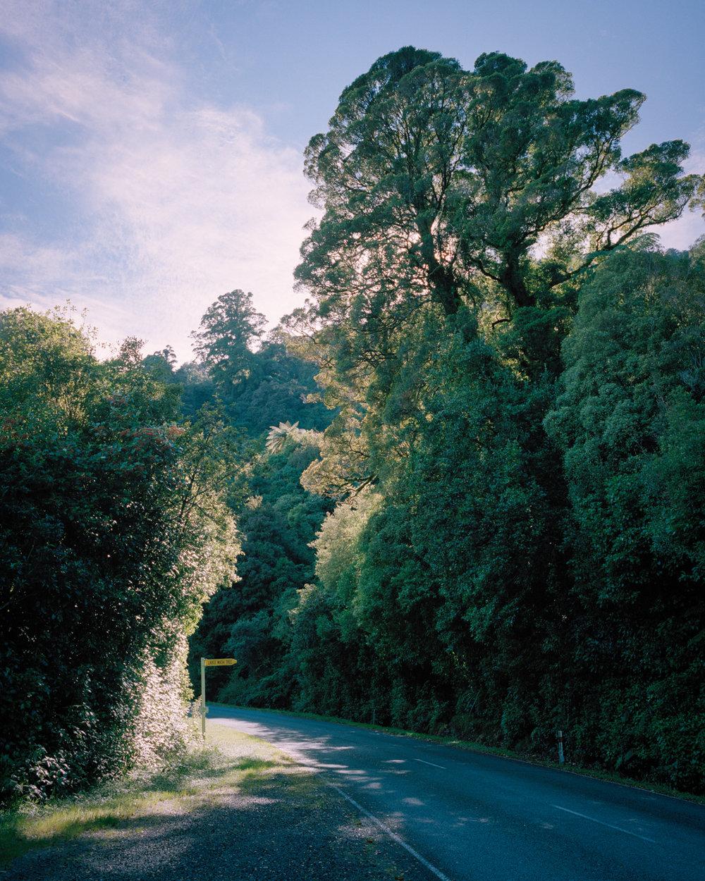 Hannah Watkinson.  Large Matai Tre e, Karamea Highway, 2016, from  The Near Future