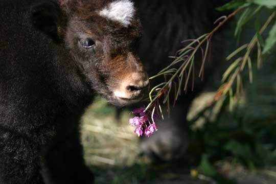 Tibetan yak.